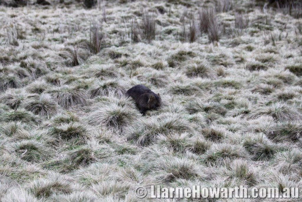 Cradle Mountain Wombat (1)